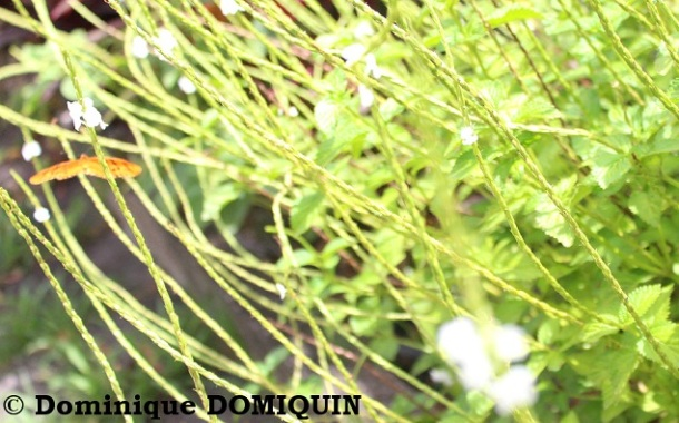 verveine_stachytarpheta_jamaicensis_dominique_domiquin